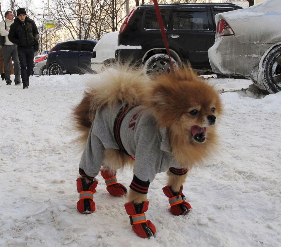 Собака одетая в пальто ждет пока ее