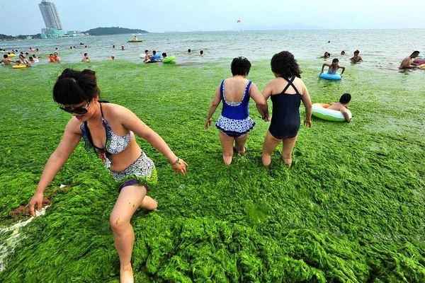 Китайские пляжи на берегу Желтого моря ''укутаны'' зелеными водорослямий