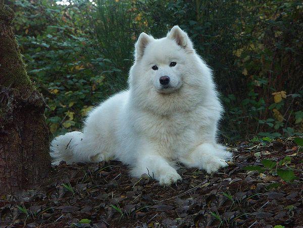 Одна из древнейших пород собак — самоедская