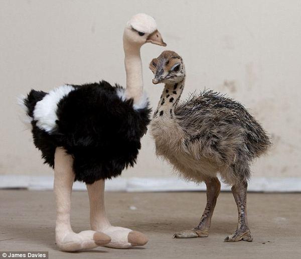 Плюшевая мама для страусёнка