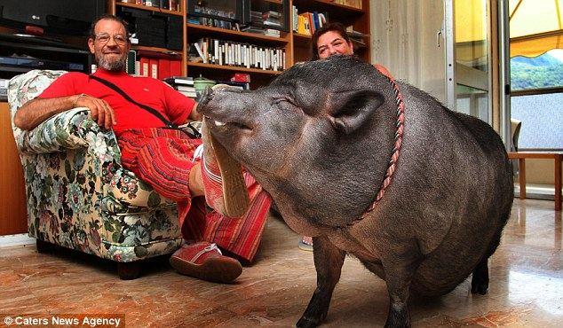 Домашняя  любимица 70-килограммовая черная свинка по кличке Чесира
