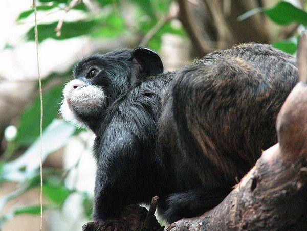 Видео секс двух обезьян самцов