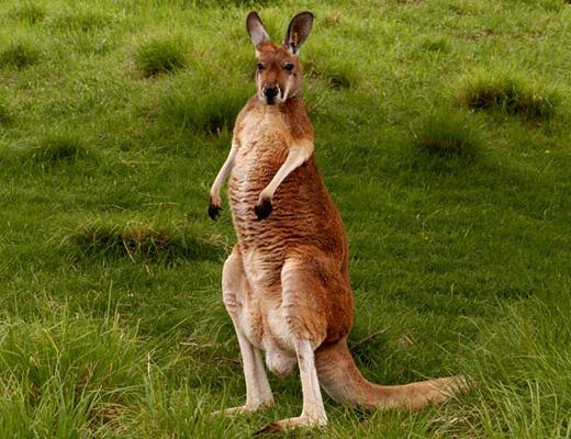 8a9af0f111f7 Самки кенгуру рожают ежегодно. Период беременности – 33 дня. Детеныш кенгуру  рождается очень крохотным (размером с арахис) и вынашивается в сумке.