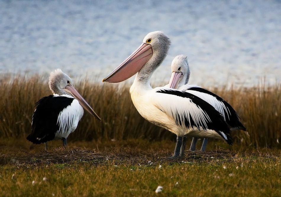 про пеликана незнакомое