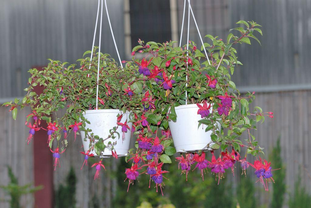 Фуксия гибридная (Fuchsia hybrida)
