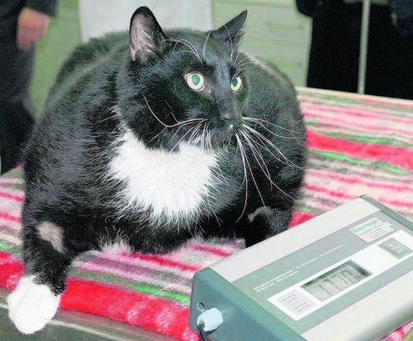 Сахарный диабет у кошки первого типа