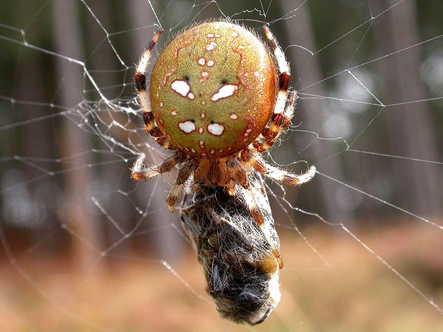 как пауки ловят добычу видео