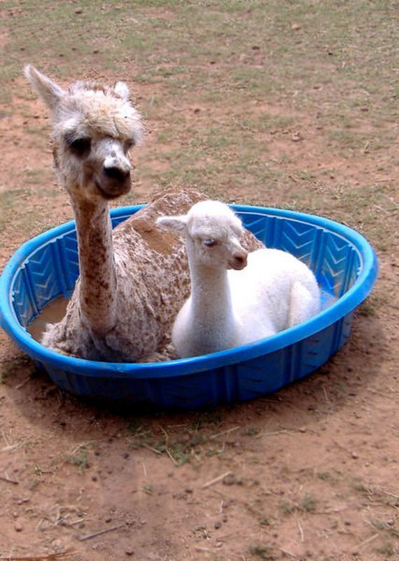 Животные в бассейне