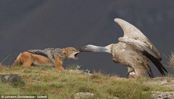 http://animalworld.com.ua/images/2011/June/Raznoe/Jackal/Jackal-1.jpg