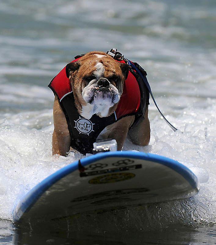 6-й чемпионат собачьего сёрфинга