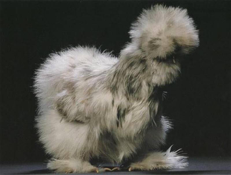 Картинки по запросу Белая польская курица и цыпленок