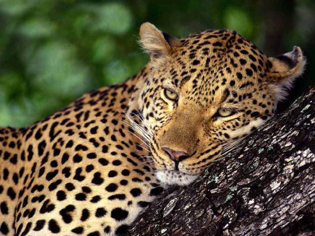 Леопард - Хищное животное.  Фото…