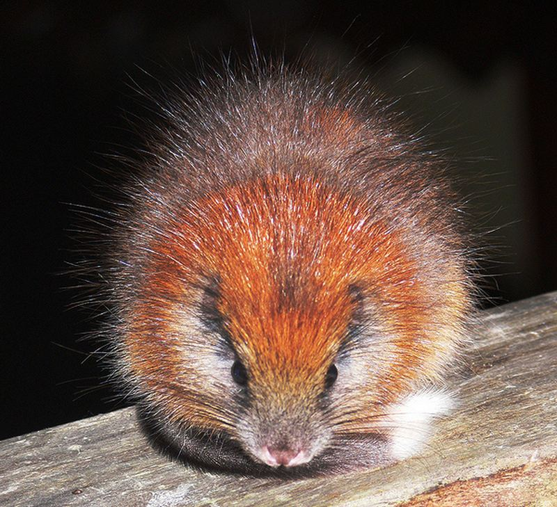 крысы домашние породы фото