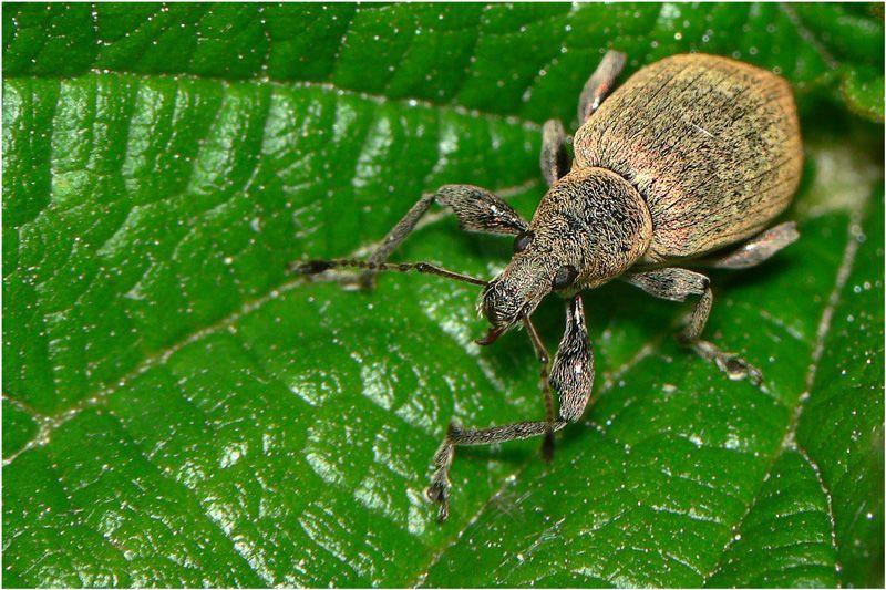 Долгоносик (Hylobius Piceus)