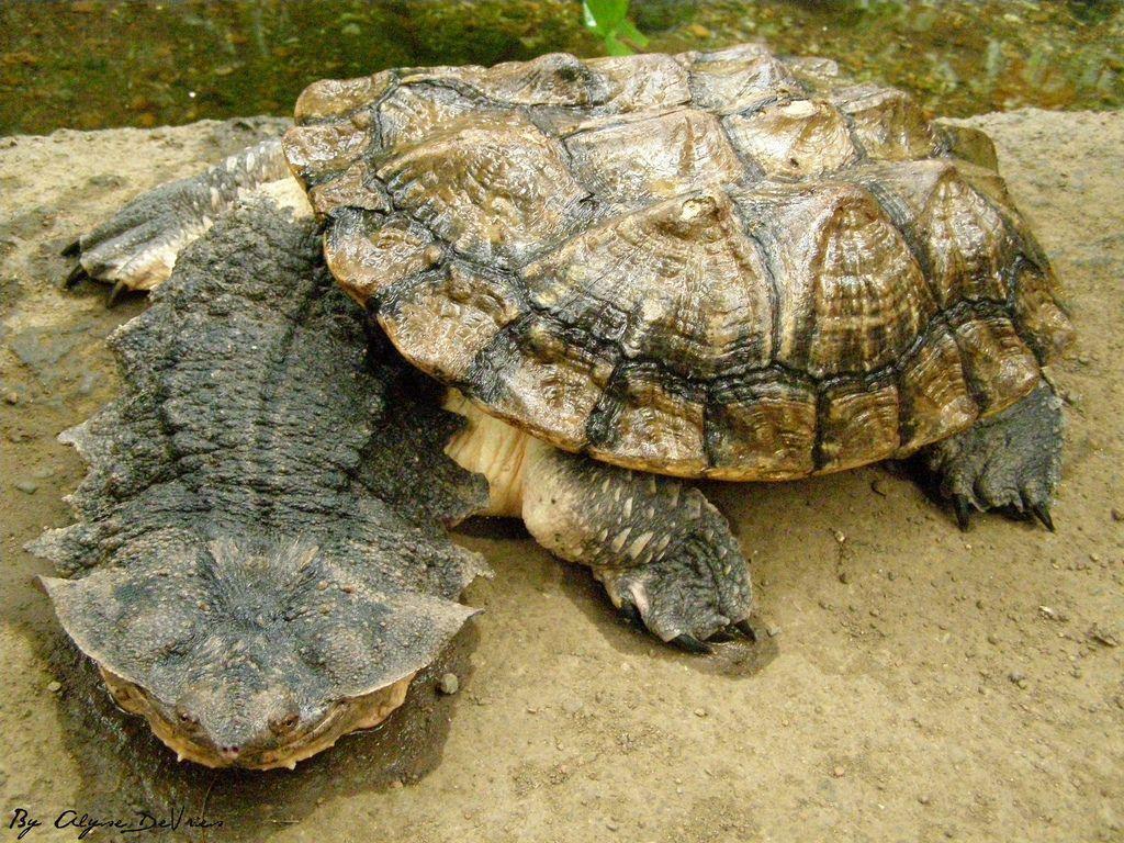 Матамата (бахромчастая черепаха) (Chelusfimbriatus)