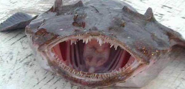Морской черт (Lophius americanus) также известен как