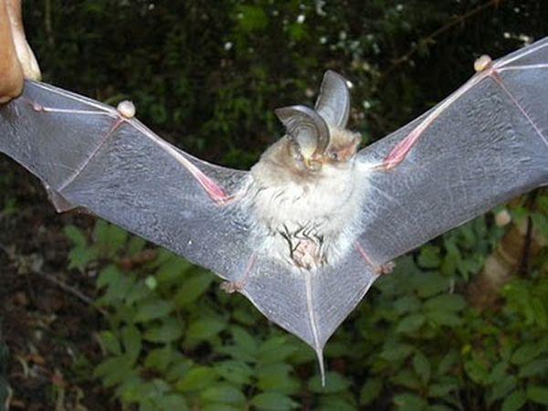 Новая присосконогая летучая мышь (Myzopoda schliemanni)