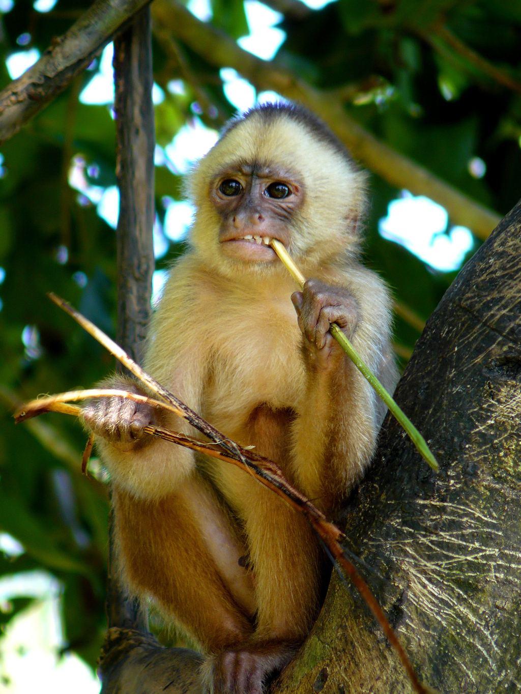Squirrel Monkey  EchoHealthy Pets