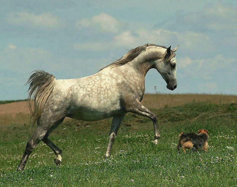 Арабские и андалузские лошади Войтека Квиатковского