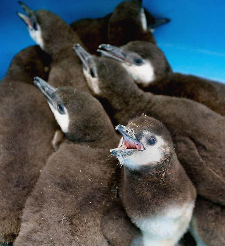 Детеныши пингвина в ожидании своего