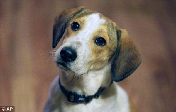 Собака породы бигль выжила после газовой камеры Bigl_1