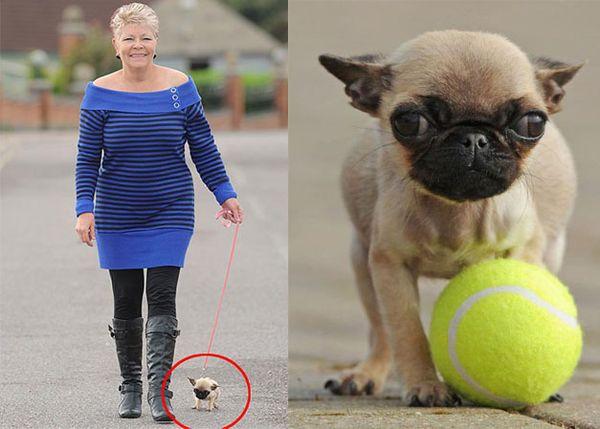 Мопс по кличке Грейси претендует на место самой маленькой собаки в ...