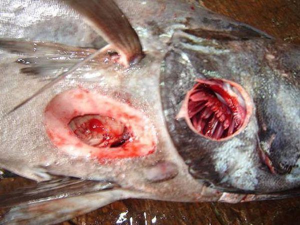 Большезубая сигарная акула (Isistius plutodus)