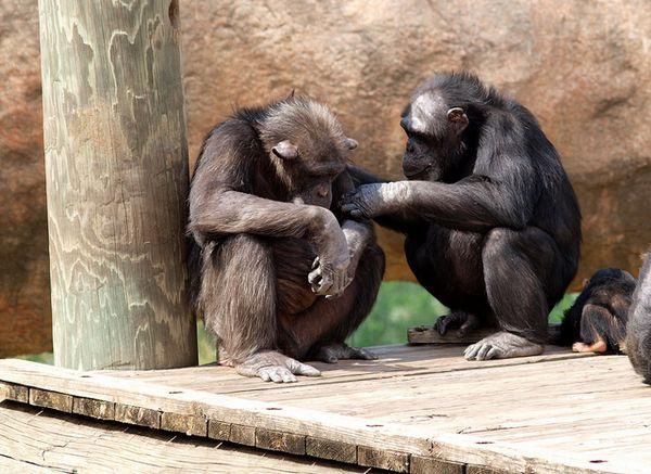 Шимпанзе вступают в контакт с