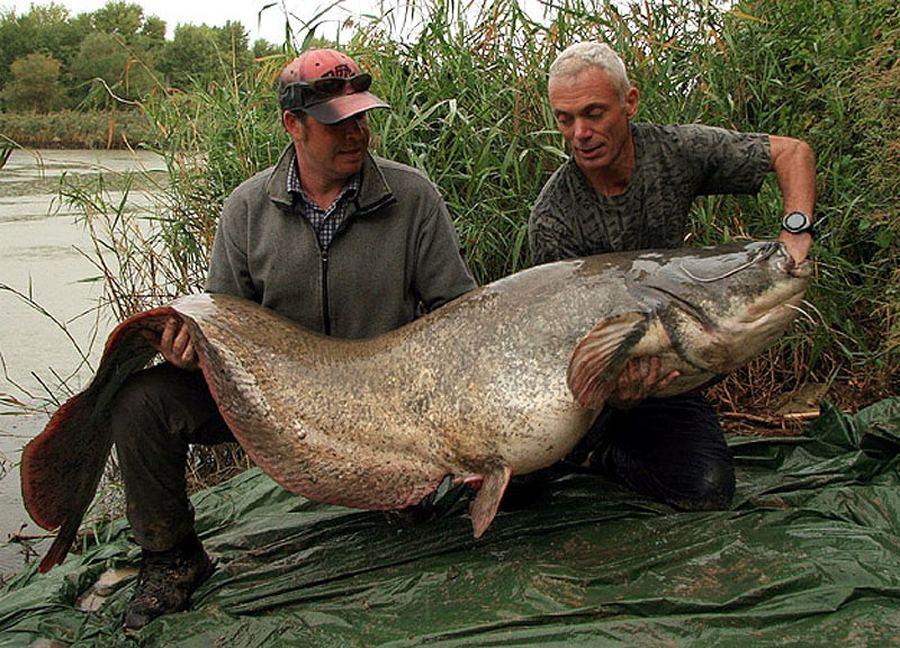 Обыкновенный сом весом 74 кг и длиной 2 2