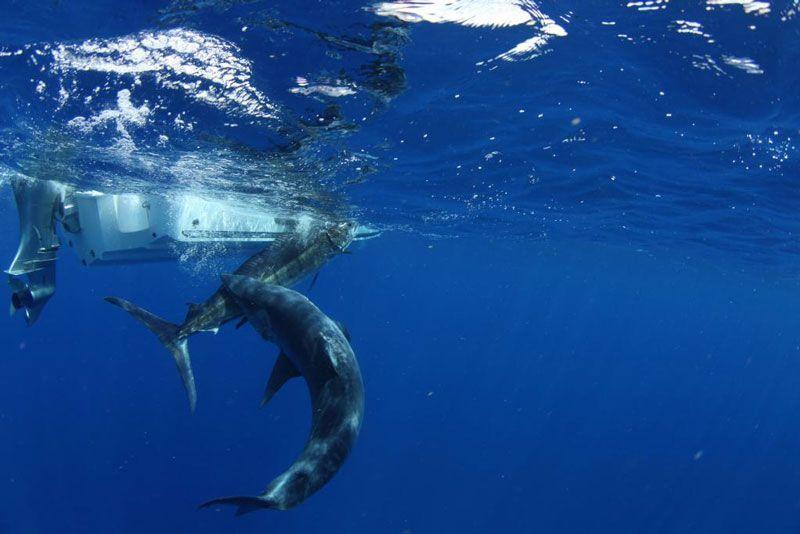 Нападение акулы на марлина стало неожиданностью для фотографа