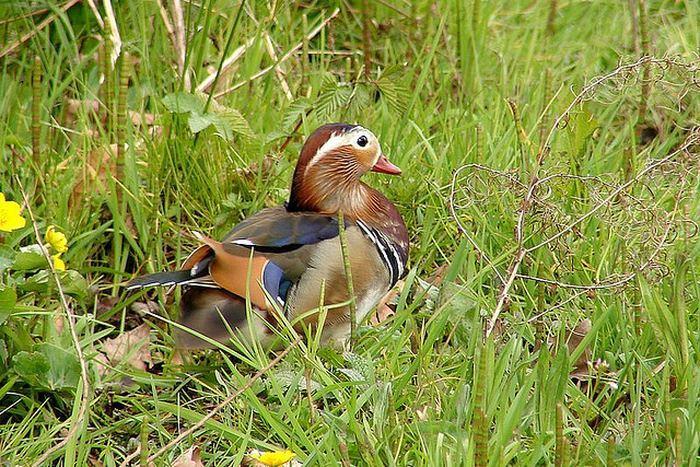Утка-мандаринка (лат. Aix galericulata)