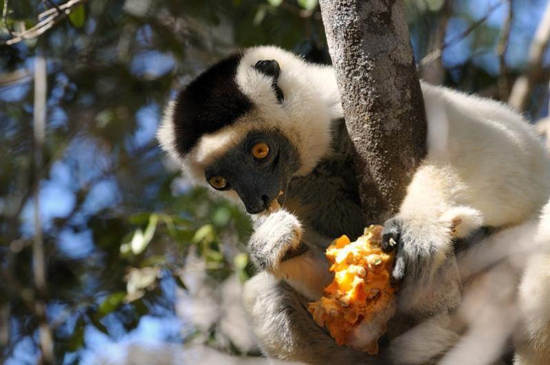 Лемуры острова Мадагаскар