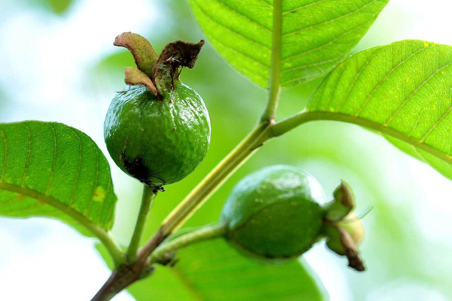 Черная сапота и другие экзотические фрукты