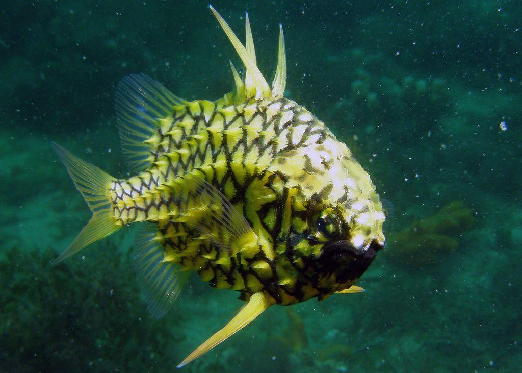 Австралийский шишечник (Cleidopus gloriamaris)