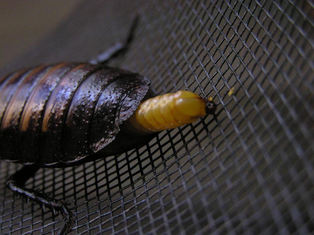Мадагаскарский шипящий таракан (лат. Gromphadorhina portentosa)