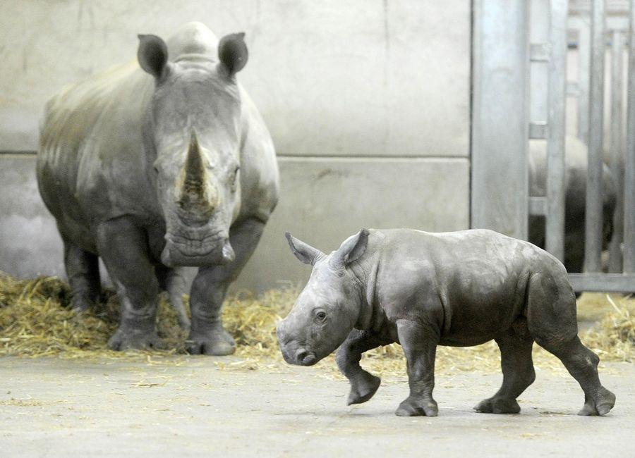 Детеныш белого носорога в Сафари-парке Ноусли