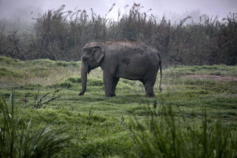 Слоны и производство кофе 'Чёрный бивень'