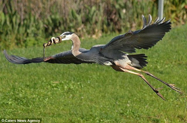 Змея обвилась вокруг клюва цапли не желая стать обедом для птицы
