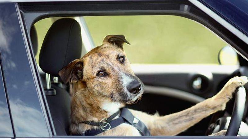 В Новой Зеландии три собаки научились управлять автомобилем