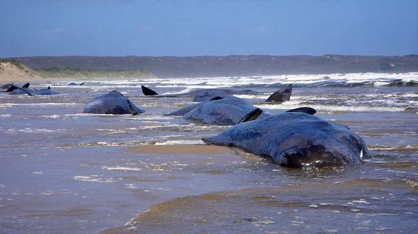 Почему киты совершают массовое самоубийство