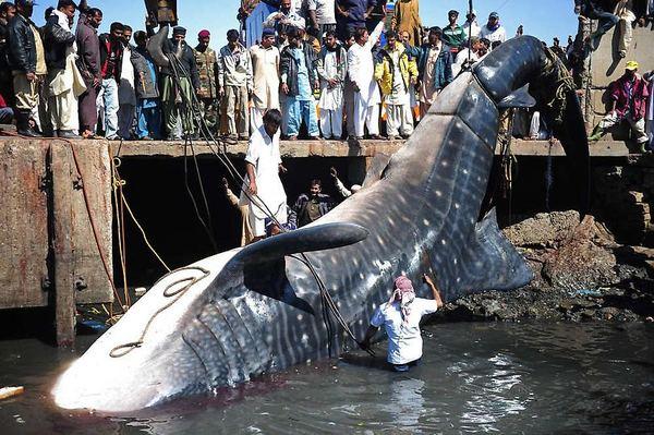 Мертвую китовую акулу, найденную у побережья Пакистана, продали за $19 тыс.