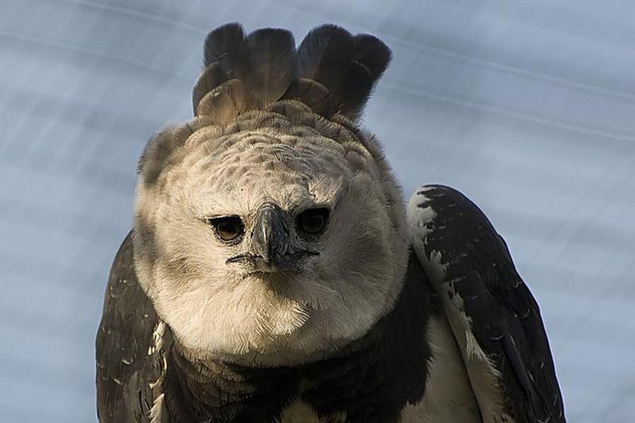 Научная классификация Царство: Животные Тип: Хордовые Класс: Птицы Отряд: Соколообразные Семейство: Ястребиные Род...
