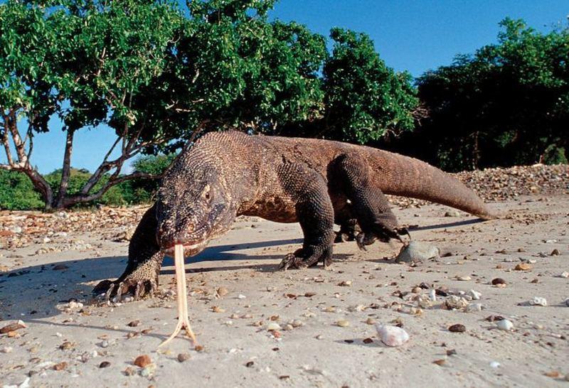 Драконы острова комодо фото 2