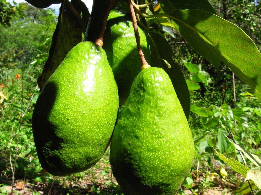 Persea americana 5 Рецепты с авокадо – африканская кухня