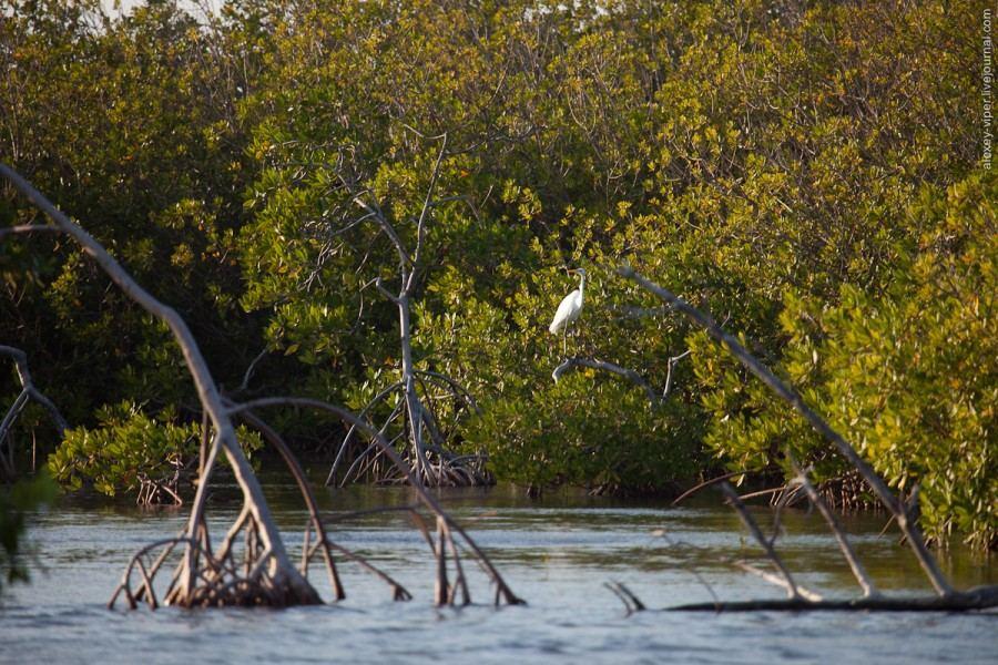 Куба: меж мангровых зарослей