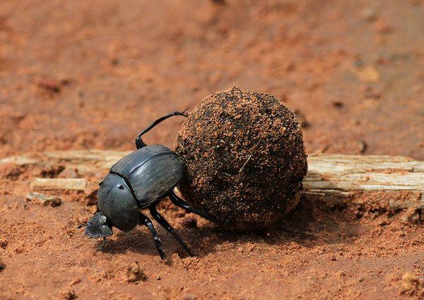 Навозный шар помогает жуку-скарабею ориентироваться: http://animalworld.com.ua/news/Navoznyj-shar-pomogajet-zhuku-skarabeju-orijentirovatsja