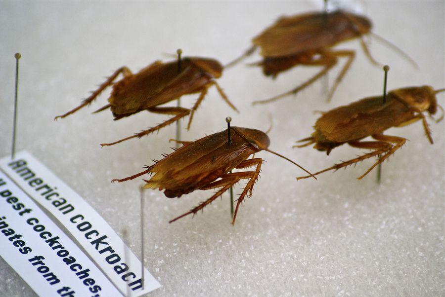 Американский таракан (Periplaneta americana)
