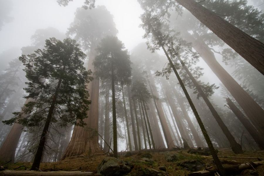 Презентация О Дереве Секвойя