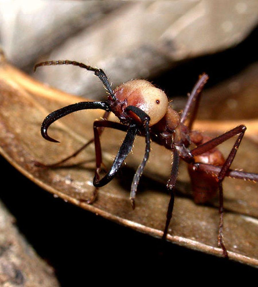 схема работы челюстей муравья
