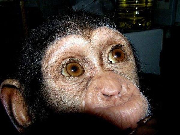 Для маленького шимпанзе мамой стала собака